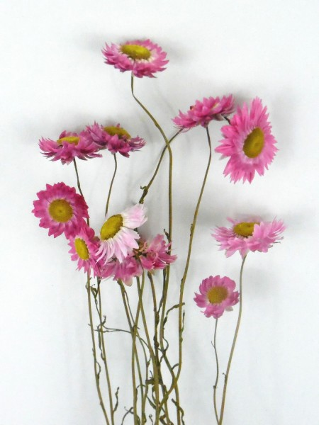 Margerite(Rhodanthemum) 50cm, Rosa