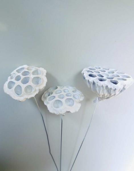 Lotus/ Weiß, 9-10cm, Z386