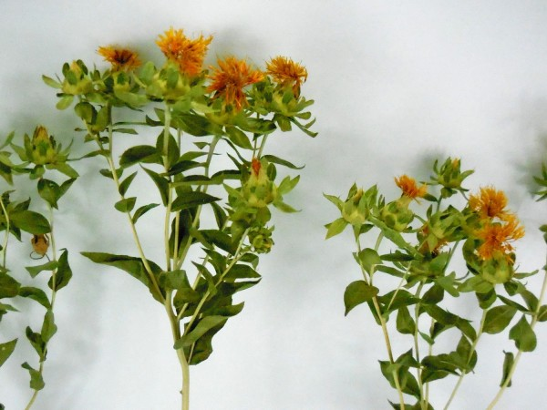 Färberdistel, *Bioanbau*, 55cm