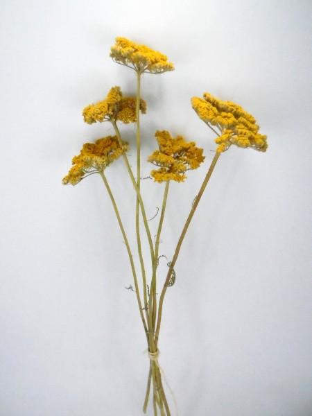 Schafgarbe(Achillea), Gelb, 5-7cm, *Bioanbau*, 1 Stängel