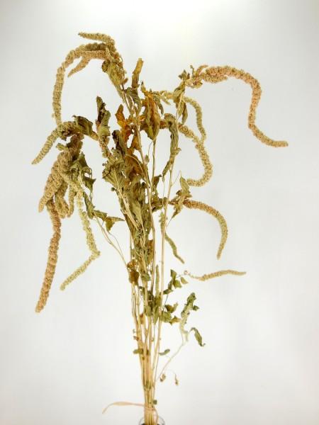 Amarantus, hängend, 70cm, 10 Stängel
