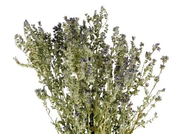 Ochsenzunge(Anchusa officinalis), *Bio*, 50cm