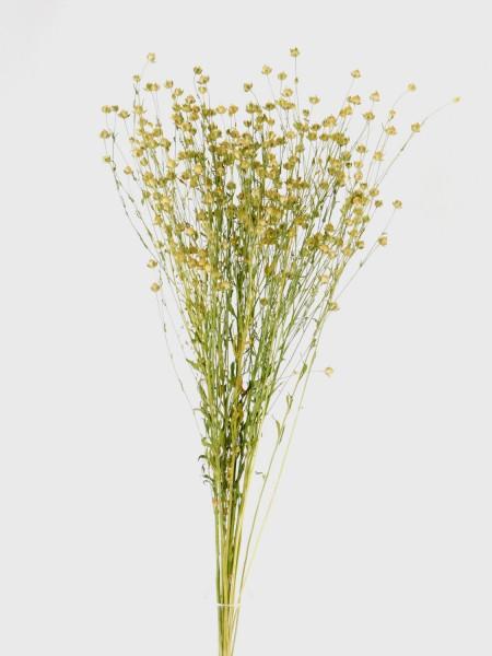 Lein, Flax, 50-60cm, *Bio-zertifiziert*