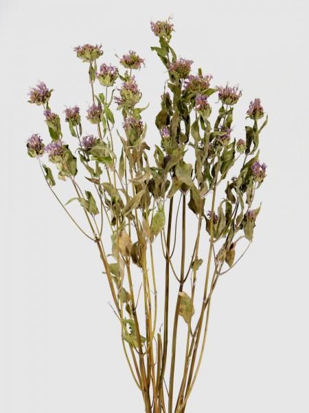 Goldmelisse, 50-55cm,*Bio-zertifiziert*