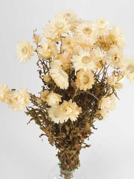 Strohblumen mit Stängel, Creme-Weis,50cm