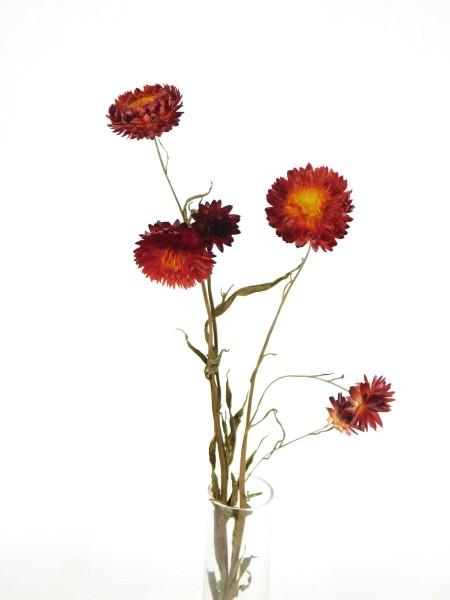 Strohblume mit Stängel, Rot, 3 Stück
