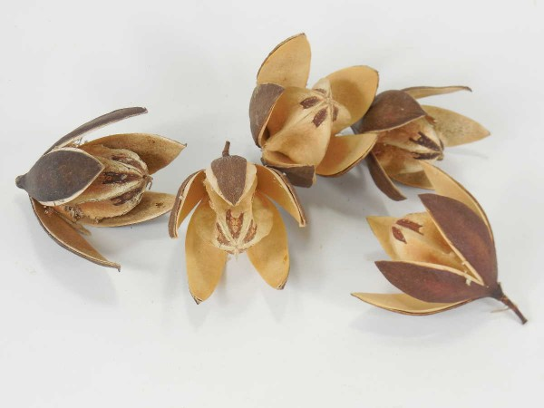 Mahagoniblume, 6-8cm, Natur