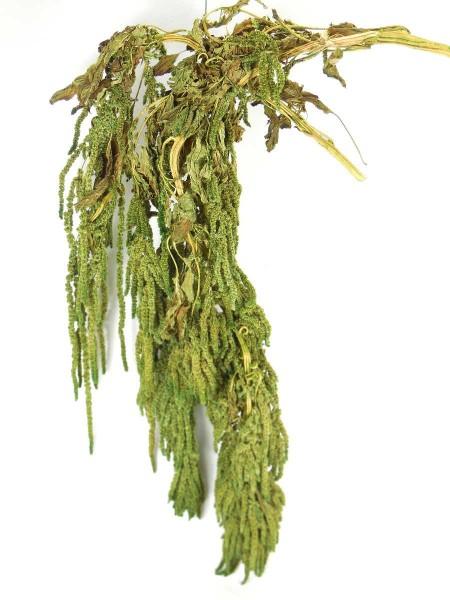 Amarantus, hängend, Grün, 70cm