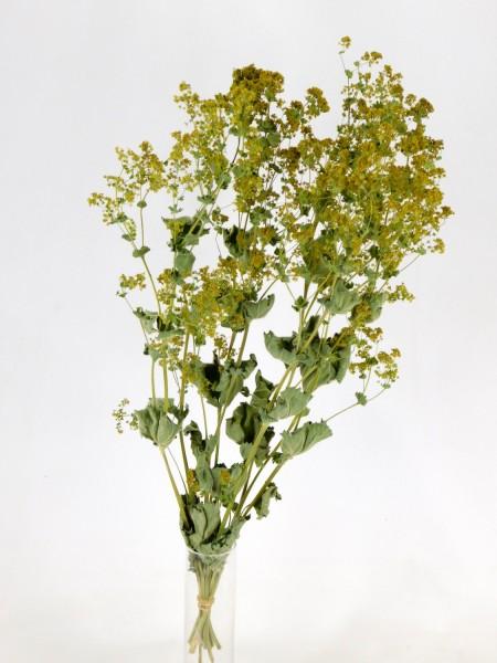 Frauenmantel, Bio-zertifiziert, 45-50cm