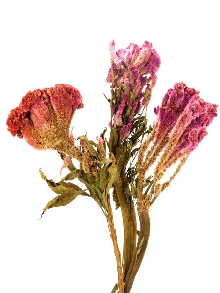 Hahnenkamm, Blüte: 16-20(!) cm, Purpur-Rot