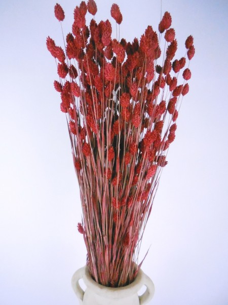Phalaris, Rot, 65cm