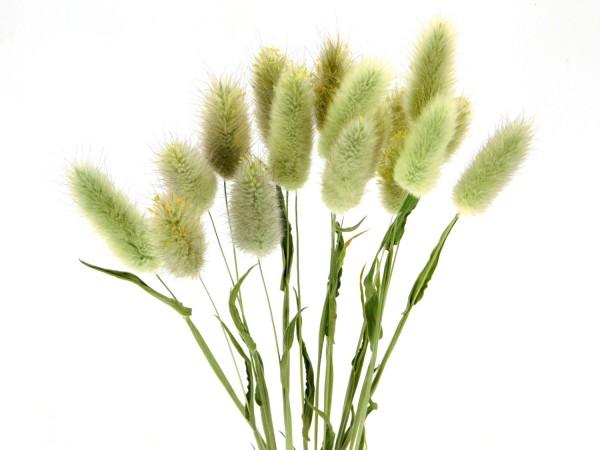 Samtgras(Lagurus), 50cm, *Bio-zertifiziert*