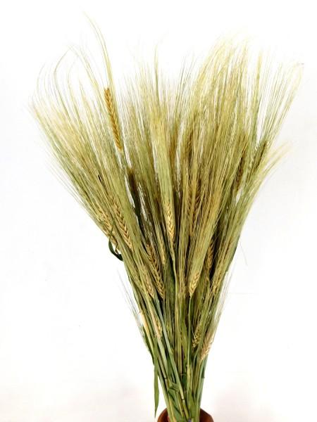 Gerste, Naturgrün *Bio*, 60cm