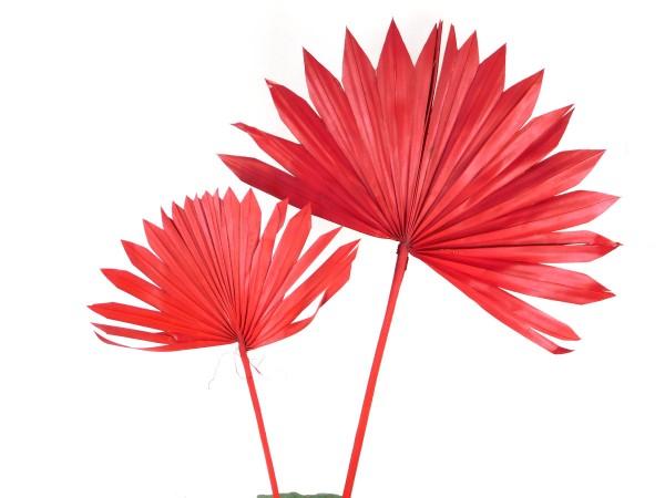 Palmfächer, Rot