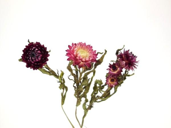 Strohblumen *Bioanbau*, 40cm, Lila-Rosa, 3Stk