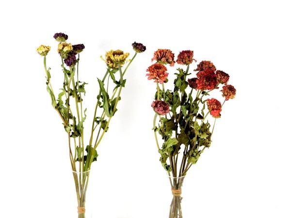 Zinnien, 40- 50cm, *Bio-zertifiziert*, 3 Stück