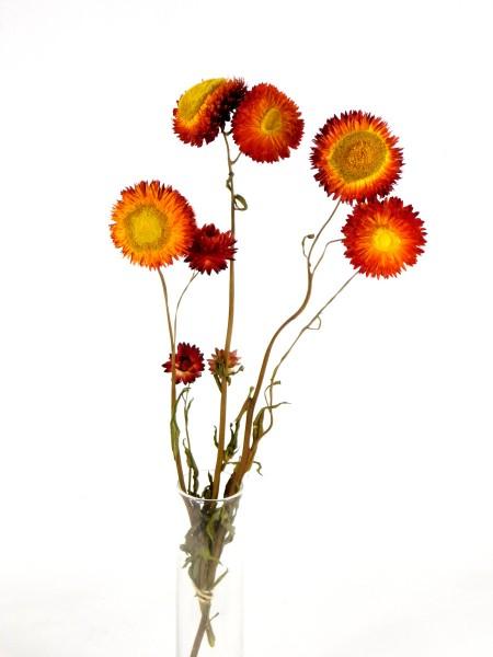 Strohblume mit Stängel, Orange, 3 Stück