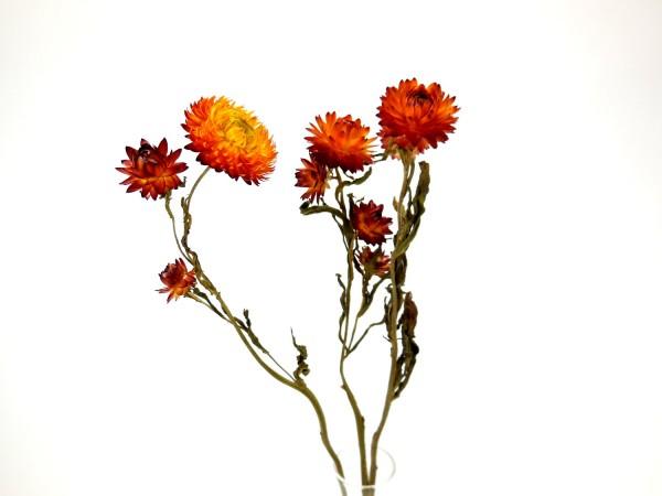 Strohblumen *Bioanbau*, 40cm, Orange, 3 Stk.