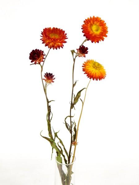 Strohblume mit Stängel, Orange, 3 Stängel