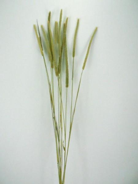 Kolbengras/ Pleum, Natur, 60cm