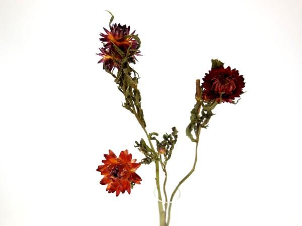 Strohblumen *Bioanbau*, 40cm, Rot, 3Stk