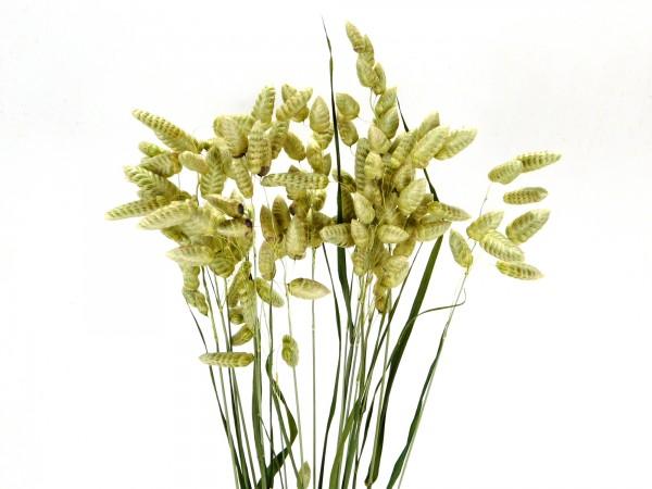 Zittergras (Briza Maxima), 45cm, *Bio-zertifiziert*