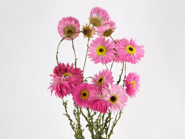 Sonnenflügel, Rosa, 40-45cm, *Bio*