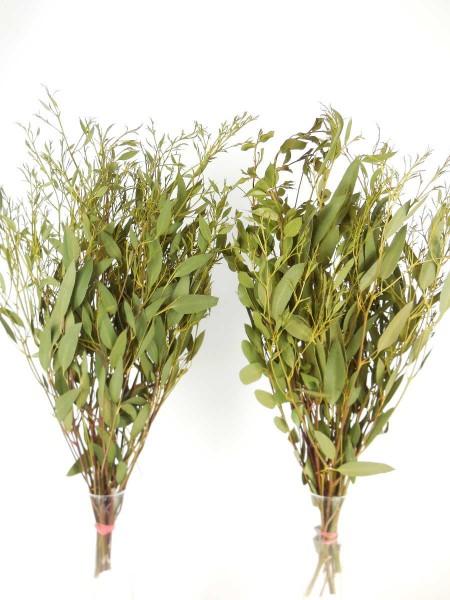 Eukalyptus Blätter, *Bioanbau*, 50cm
