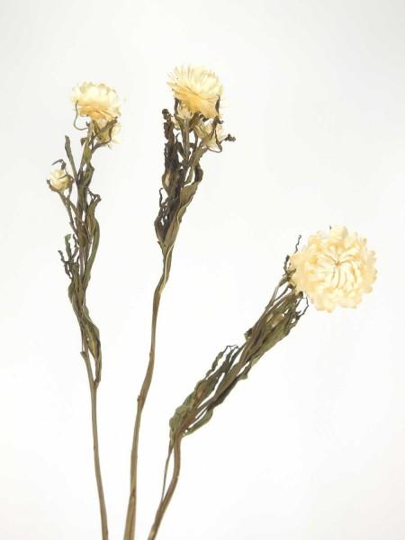 Strohblumen *Bioanbau*, 40cm, Weiß, 3 Stk.