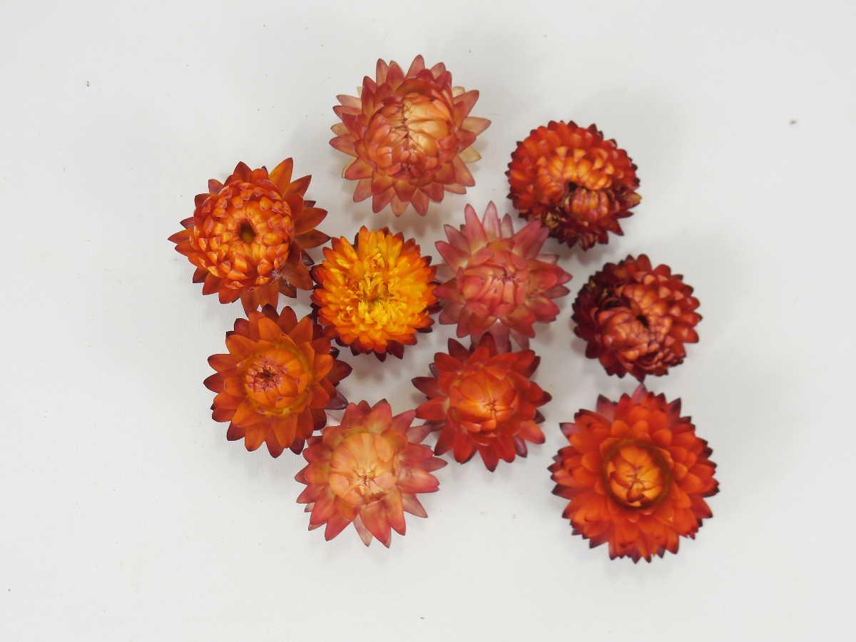 Kleine Strohblumenköpfe *Bioanbau*, Rot-Orange ...