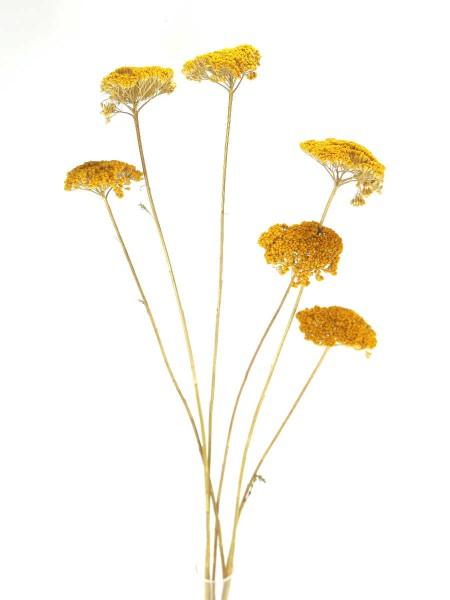 Schafgarbe(Achillea), Gelb, 6-8cm, ein Stängel