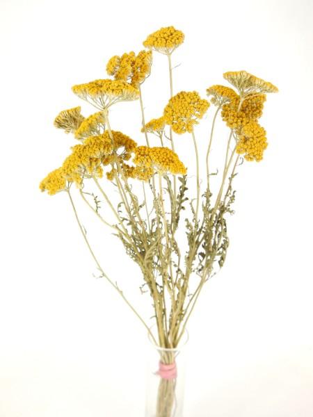 Schafgarbe(Achillea), Gelb, 7-10cm, *Bioanbau*, 1 Stängel
