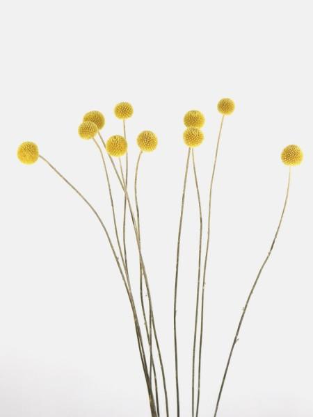 Trommelstock, 70cm, natürliches Gelb