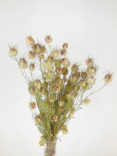Jungfer im Grünen, Bio-zertifiziert, 40-55cm