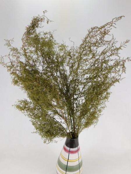 Einjähriger Beifuß, 50cm, *Bioanbau*