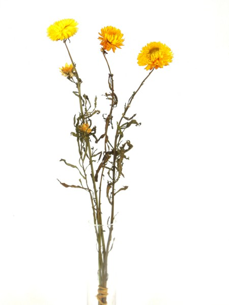 Strohblume mit Stängel, Gelb, 3 Stück