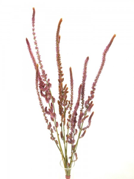 Russische Statice, *Bioanbau*, 55cm