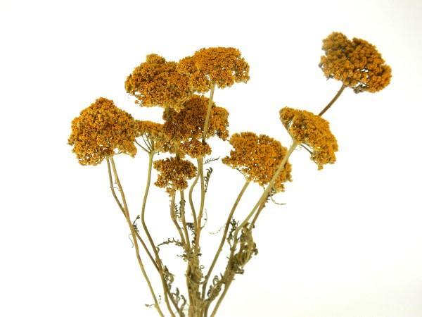 Schafgarbe(Achillea), Gelb, 4cm, *Bioanbau*, 1 Stängel