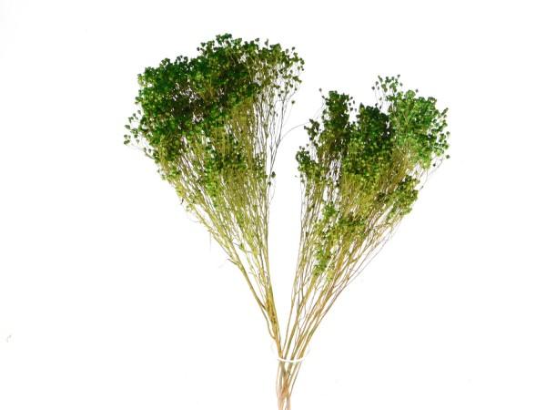 Broom Bloom, Laubgrün,20 Gramm