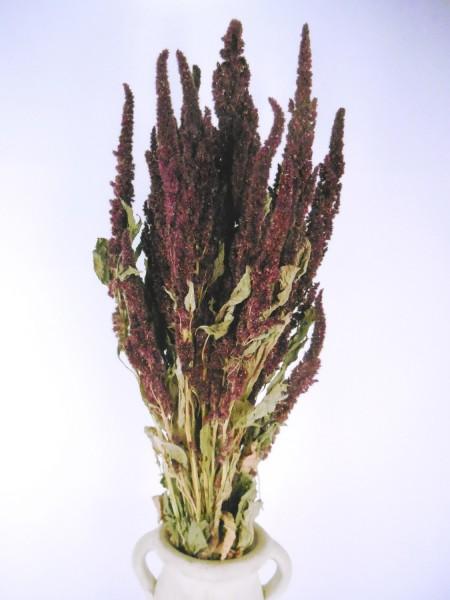 Amarantus(Amarant), Rot, stehend, 65cm