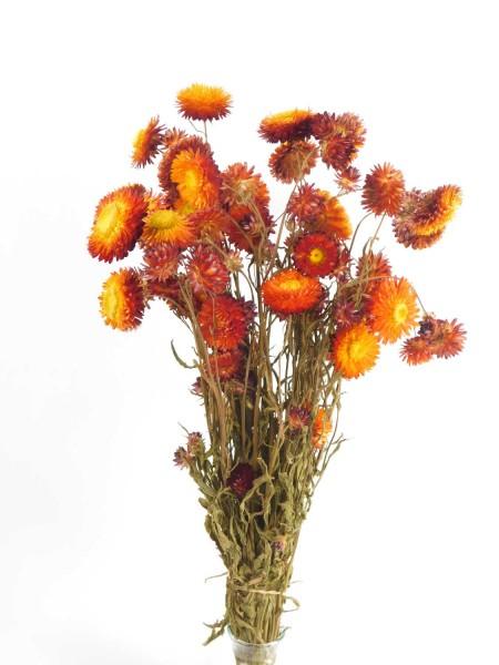 Strohblumen mit Stängel, Orange-Rot,50cm