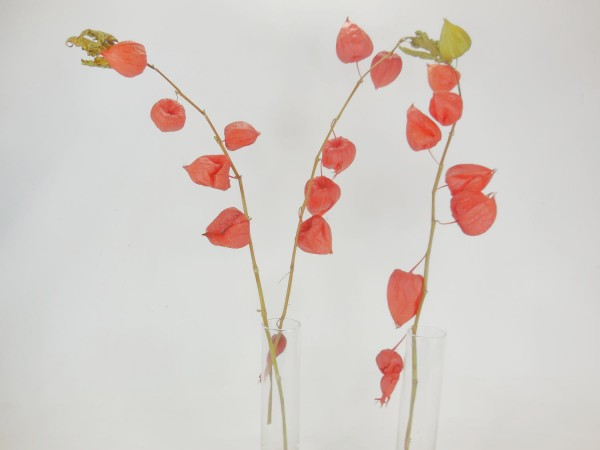 Lampionblume, 55-60cm