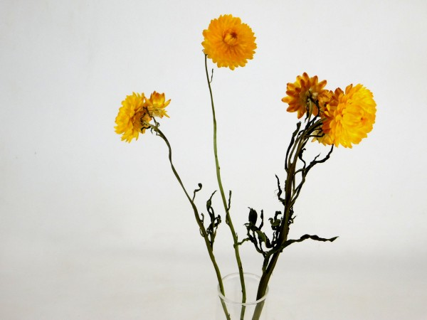 Strohblumen *Bioanbau*, 45cm, Gelb, 3 Stk.